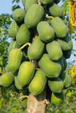 Pawpaw Tree Stock Images