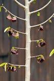 Pawpaw (triloba Asimina) Στοκ Φωτογραφίες