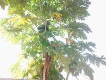 Pawpay träd Royaltyfri Foto