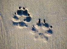 Pawprint pair. Pawprints, huge and deep, embedded in sand on the beach Royalty Free Stock Images