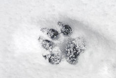 Pawprint in Snow. A single dog pawprint Royalty Free Stock Photography