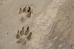 Pawprints. 2 pawprints of a dog in mud Stock Images