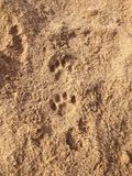 Pawprints dans le sable photos libres de droits