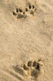 Pawprints en arena foto de archivo libre de regalías