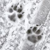 Pawprints hivernales Fotos de archivo libres de regalías