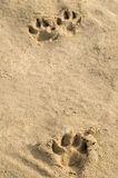 Pawprints im Sand Lizenzfreies Stockfoto
