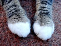 Paws. Cat paws isolated on carpet Royalty Free Stock Photos