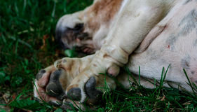 Paws of a Bassett Hound. A well loved breed of dog the Bassett Hound with big feet and an even bigger heart Royalty Free Stock Photo