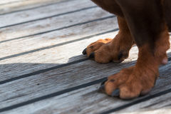 Paws of a big brown dog on the wooden floor. Stock Photos