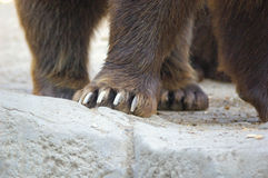 Paws of a brown bear (Ursus arctos) Royalty Free Stock Photography