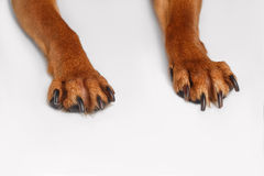 Paws Brown Toy Terrier on White Background Royalty Free Stock Images