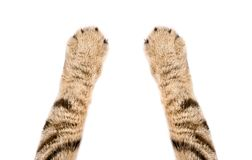 Paws of a cat Scottish Straight. Closeup, isolated on white background stock photos