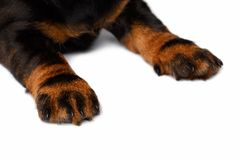 Paws dachshund puppies Stock Image