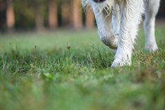 Paws of Golden Retriever strolls across wet grass. Stock Photo