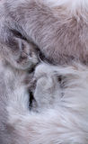 Paws gray cat close up Royalty Free Stock Photo