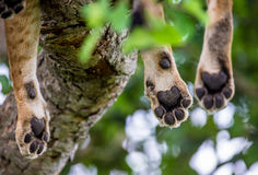 Paws lioness, which lies on the tree. Close-up. Uganda. East Africa. An excellent illustration Royalty Free Stock Photography