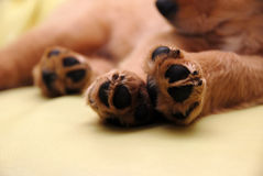 Paws Of Sleeping Puppy Royalty Free Stock Images