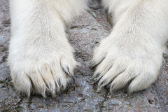Paws of the Polar Bear (Ursus maritimus) Stock Photos