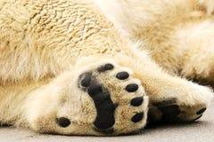 Paws of polar bear. Ursus maritimus. Wild arctic animal Royalty Free Stock Photography