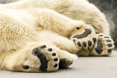 Paws of polar bear. Ursus maritimus. Wild arctic animal Stock Image