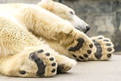 Paws of polar bear. Ursus maritimus. Wild arctic animal royalty free stock image