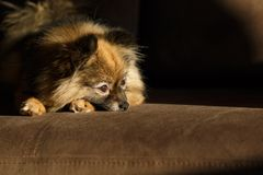 Paws pomeranian spitz. pets view from above. the dog is sad stock photography