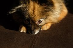 Paws pomeranian spitz. pets view from above. the dog is sad stock image