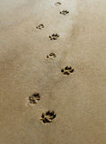 Paws in the Sand. Dog paws across the sand Royalty Free Stock Photography