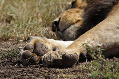 Paws of sleeping lion male, Kenya Stock Images