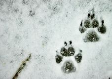 Paws in the Snow Stock Photo