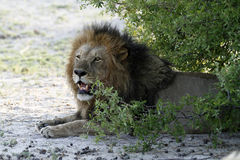 Big African Male Lion Royalty Free Stock Photos