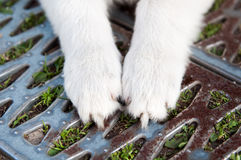 Paws of a white puppy royalty free stock photo