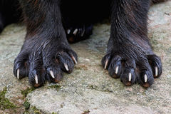 Paws of a Wolverine (Gulo gulo). Closeup image of the front paws on a wolverine on a rock royalty free stock photos