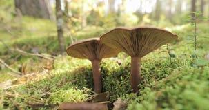 Paxillus involutus i höstskog i Vitryssland Den bruna rulle-kanten, den gemensamma rulle-kanten eller gift pax, är en basidiomyce stock video