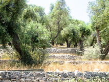 Paxos Olive tree Stock Image