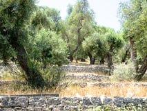Paxos olivträd Fotografering för Bildbyråer
