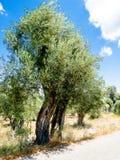 Paxos olivträd Arkivbilder