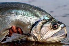 Payara吸血鬼鱼奥里诺科河哥伦比亚 库存图片