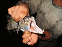 Payara, зуб собаки Characin научно известное как scomberoides Hydrolycus, тип рыб игры Найдено обильно в Vene стоковые фотографии rf