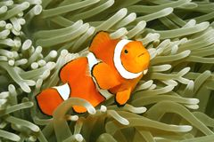 Payaso Anemonefish, Amphiprion Percula Foto de archivo libre de regalías