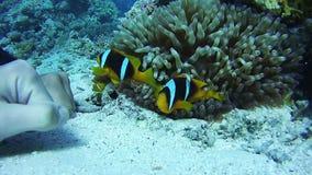 Payaso Anemonefish, pescado tropical colorido en Coral Reefs Underwater vibrante en el Mar Rojo Egipto almacen de video