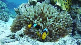 Payaso Anemonefish, pescado tropical colorido en Coral Reefs Underwater vibrante en el Mar Rojo Egipto metrajes