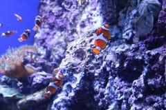 Payaso Fish fotografía de archivo