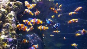 Payaso Fish imagenes de archivo