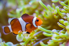 Payaso Fish Foto de archivo