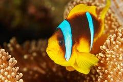 Payaso Fish Imágenes de archivo libres de regalías