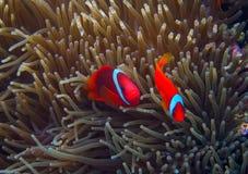 Payaso Fish en actinia Clownfish anaranjado en anémona Foto subacuática de los pescados coralinos imagen de archivo libre de regalías