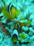 Payaso fish3 Imágenes de archivo libres de regalías