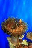 Payaso-pescados Imágenes de archivo libres de regalías