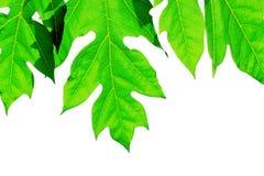 Payaya blad Arkivfoton